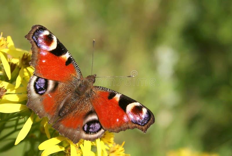 Mariposa checa foto de archivo