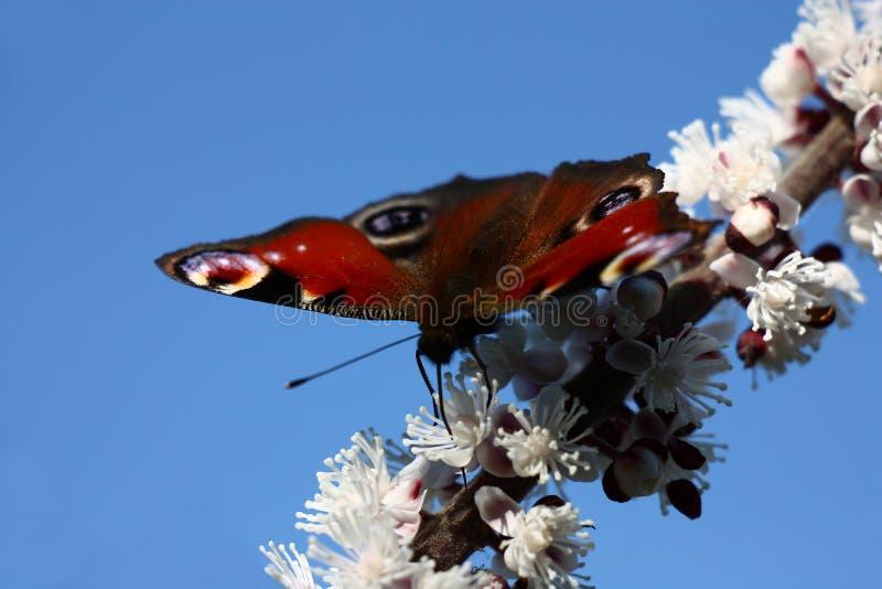 Mariposa, cimicifuga y cielo azul fotografía de archivo libre de regalías