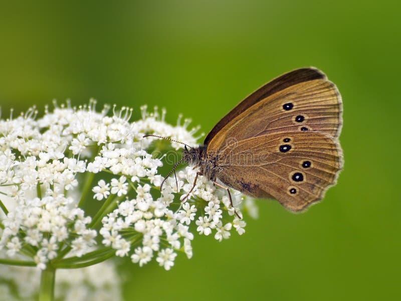Mariposa (Coenonympha) En La Flor Blanca Fotografía de archivo libre de regalías