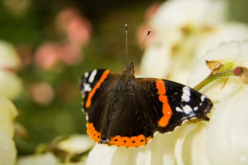 Mariposa colorida del almirante rojo foto de archivo