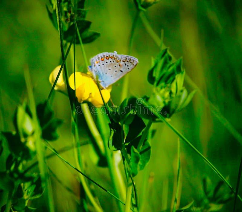 Mariposa colorida en la flor amarilla en soleado fotos de archivo