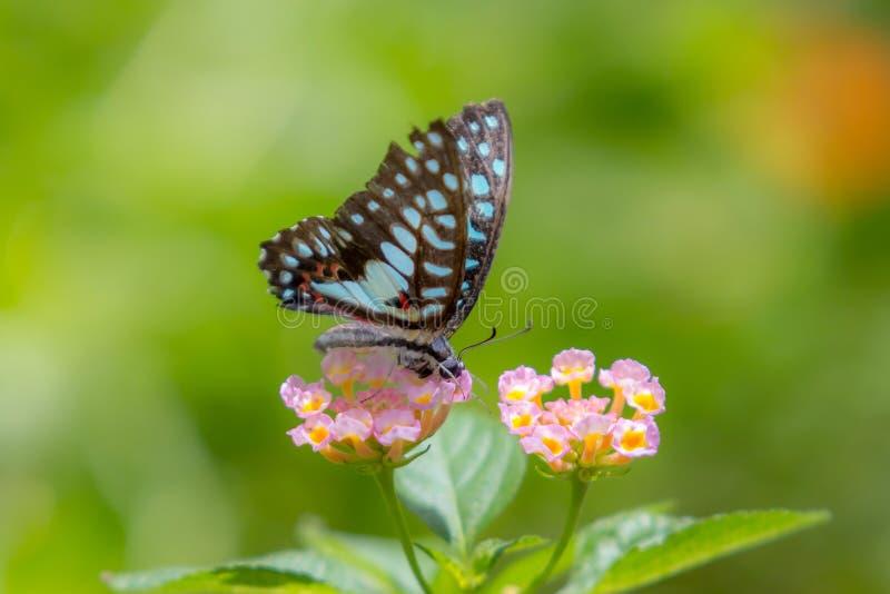 Mariposa colorida en la hoja del verde de la flor del rosa imagen de archivo