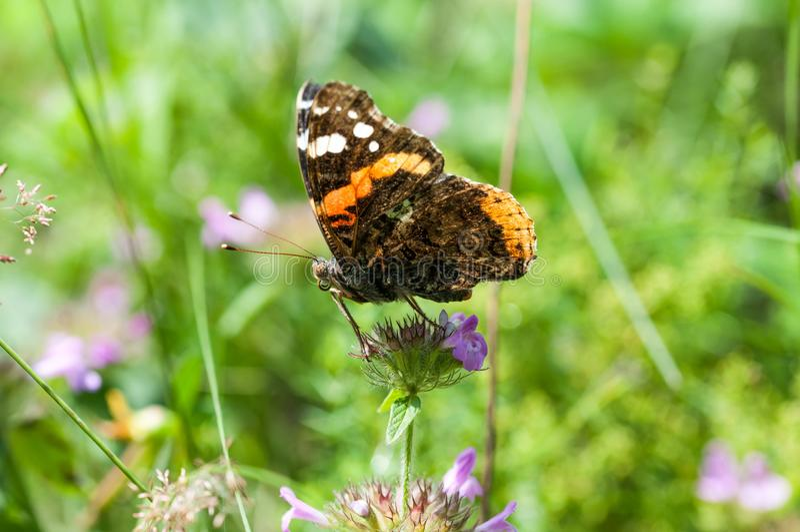 Mariposa colorida en los campos verdes intactos de Transyvanian fotografía de archivo libre de regalías