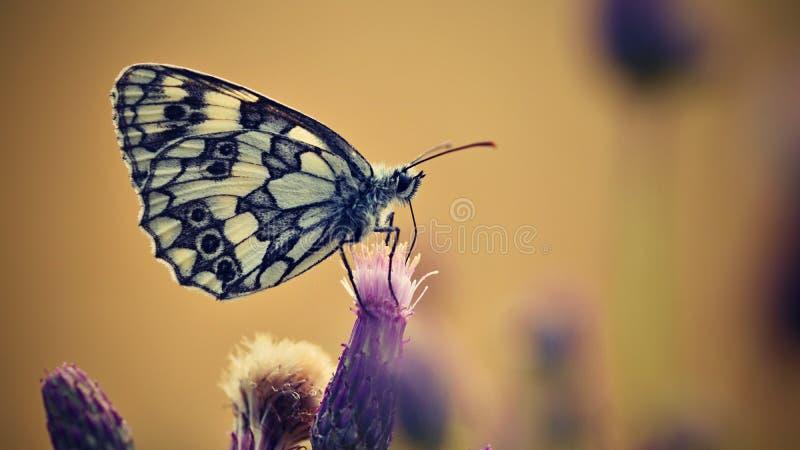 Mariposa colorida hermosa que se sienta en la flor en naturaleza Día de verano con el sol afuera en prado Fondo natural colorido  foto de archivo libre de regalías