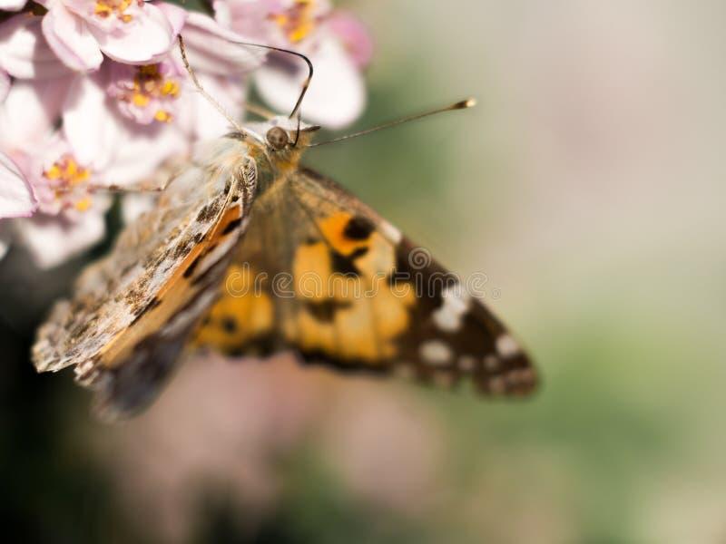 Mariposa colorida que alimenta en un flor rosado brillante fotos de archivo libres de regalías