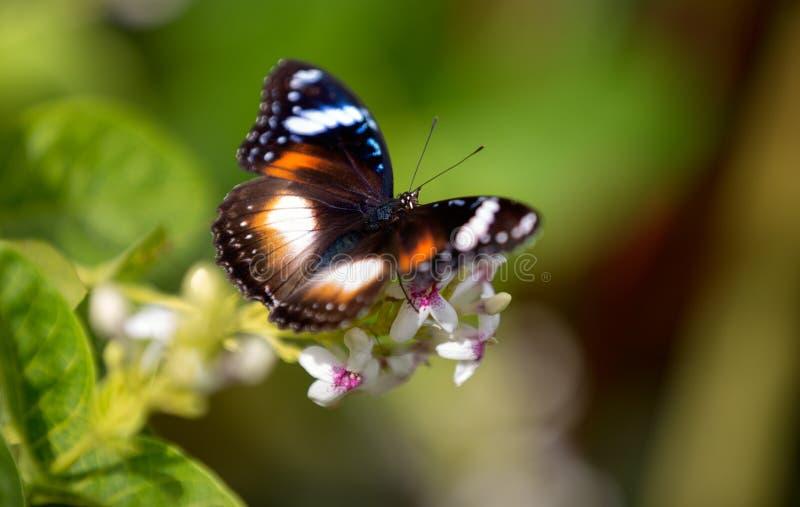 Mariposa colorida que alimenta en una flor blanca imagenes de archivo