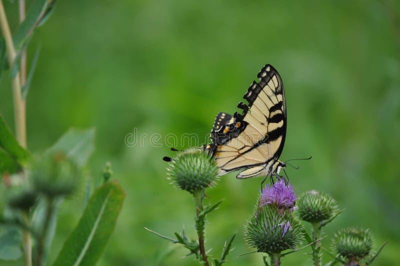 Mariposa colorida que alimenta en una flor en un campo imagen de archivo