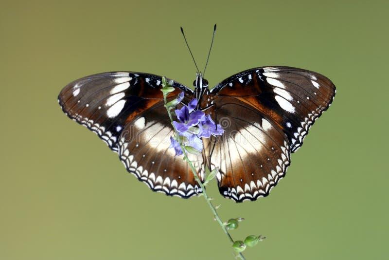 Mariposa común de Eggfly con las alas abiertas imágenes de archivo libres de regalías