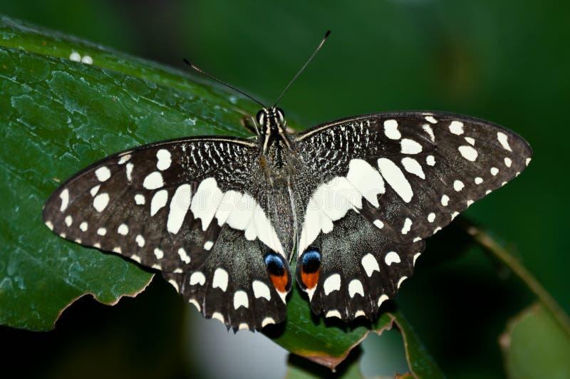 Mariposa común de la cal en la hoja foto de archivo libre de regalías