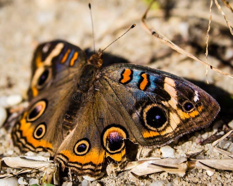 Mariposa común del castaño de Indias imagen de archivo