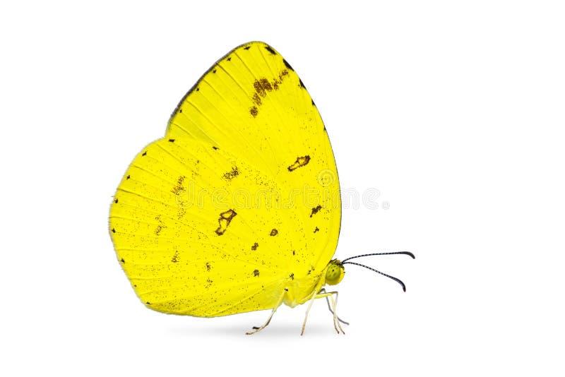 Mariposa común del hecabe de Eurema del amarillo de la hierba fotos de archivo libres de regalías