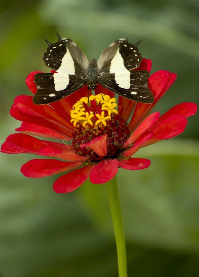 Mariposa común del nawab imagen de archivo libre de regalías