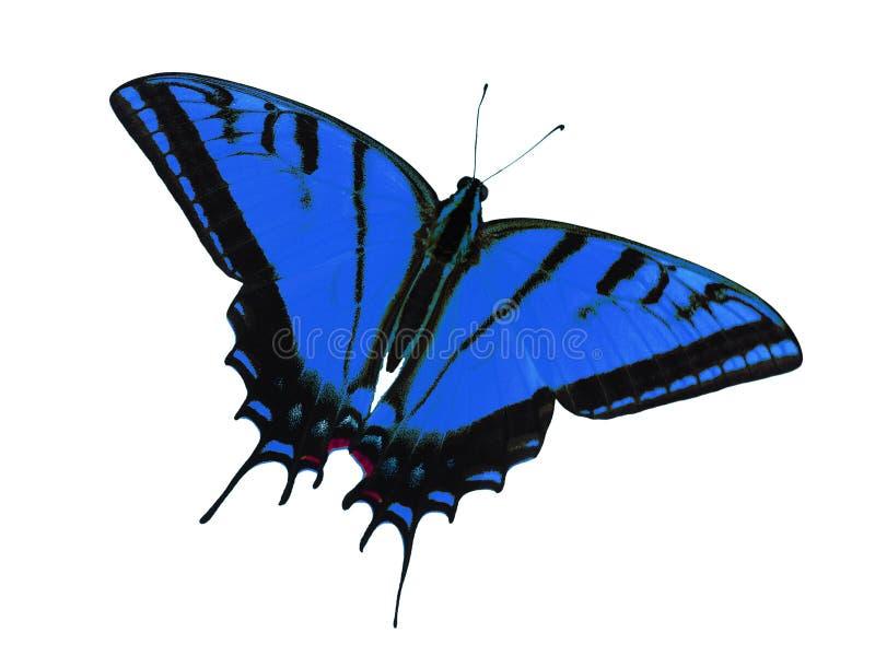 Mariposa con dos colas del swallowtail aislada en blanco Cambio del color al azul imagenes de archivo