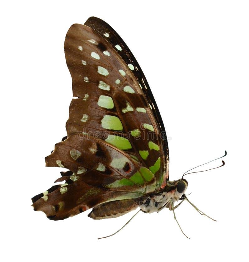 Mariposa con dos colas del swallowtail del tigre aislada en el fondo blanco fotografía de archivo libre de regalías