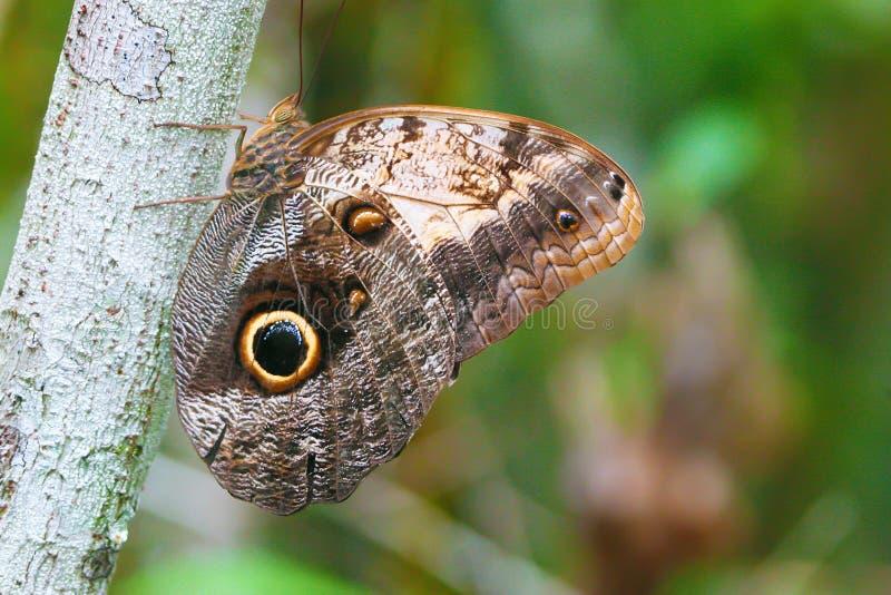 Mariposa con el ojo enorme en el ala, Ecuador fotografía de archivo