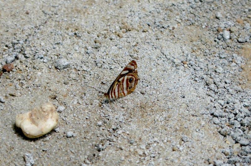 Mariposa con las alas marrones rayado y de los ojos fotografía de archivo libre de regalías