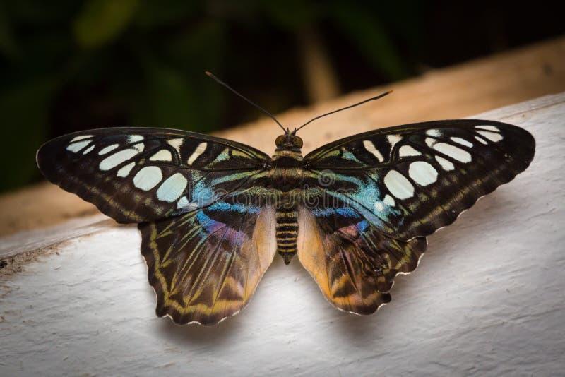 Mariposa con las alas separadas foto de archivo libre de regalías