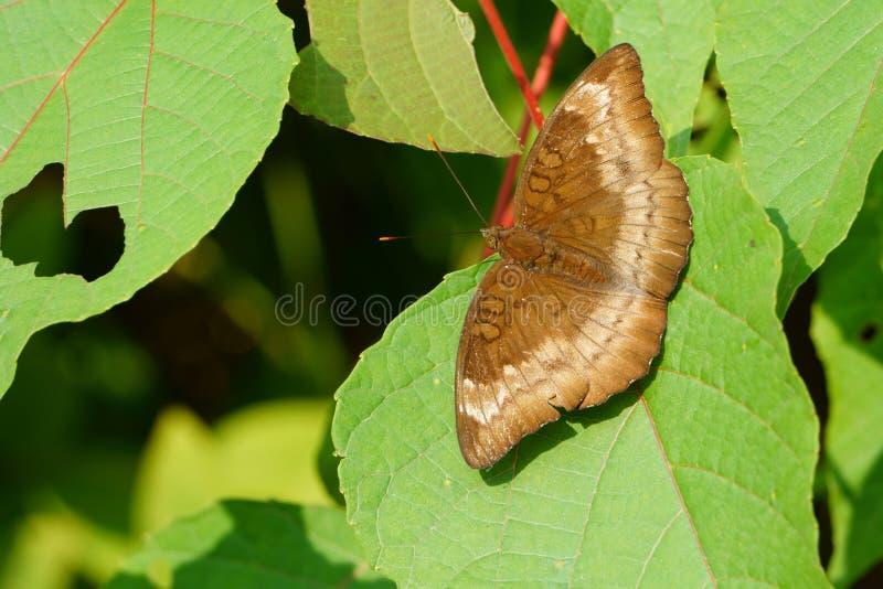 Mariposa con las hojas en sol de la madrugada foto de archivo libre de regalías