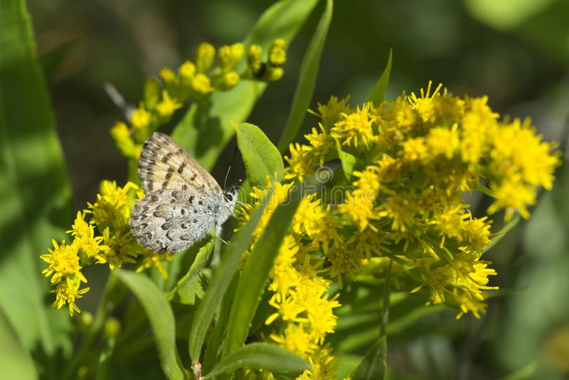Mariposa Copper Butterfly. Mariposa Copper or Lycaena mariposa butterfly stock photos