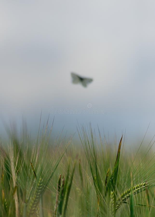 Mariposa débil fotos de archivo libres de regalías