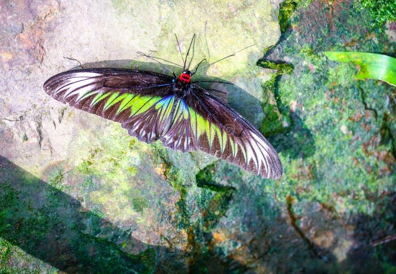 Mariposa de Brooke Birdwing del rajá imagen de archivo