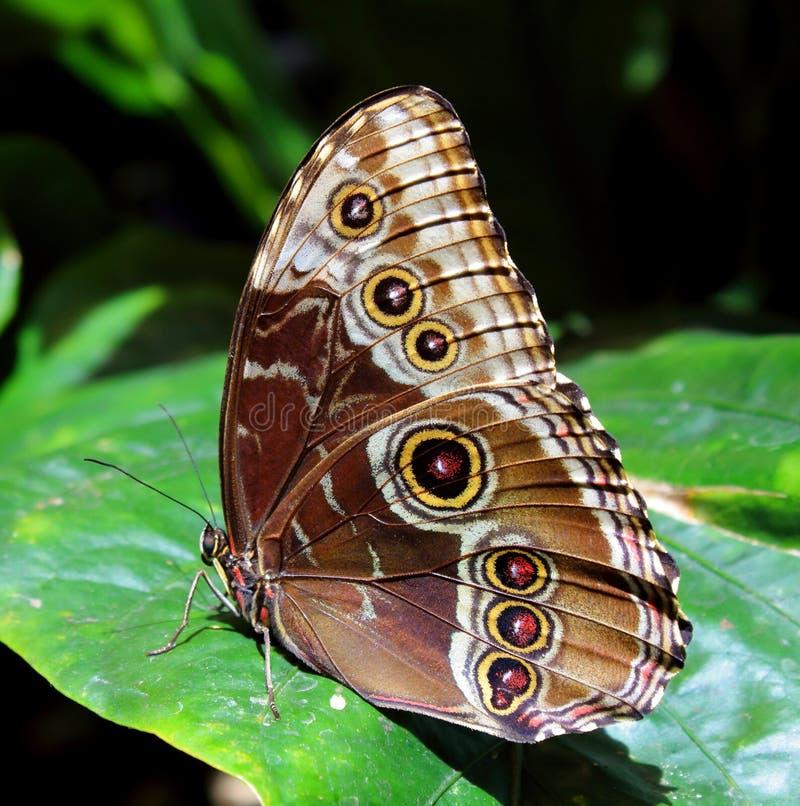 Mariposa de Brown fotografía de archivo libre de regalías