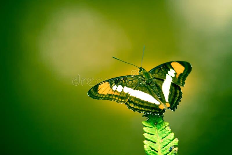 Mariposa de Brown, amarilla y blanca con las alas abiertas que se sientan en una foto verde de la macro del primer de la hoja del fotos de archivo libres de regalías