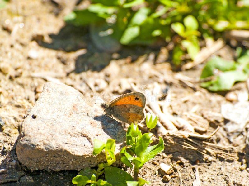 Mariposa de Brown en el piso el primavera imágenes de archivo libres de regalías