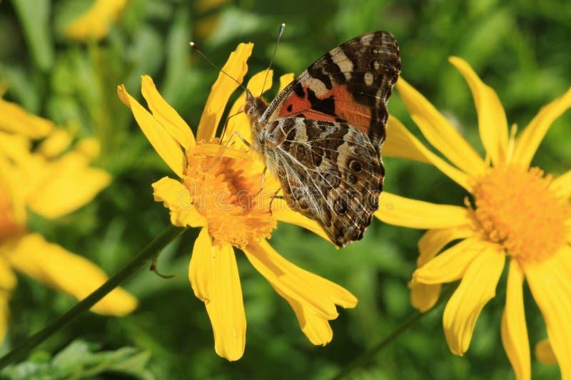 Mariposa de Brown en margaritas amarillas imagen de archivo