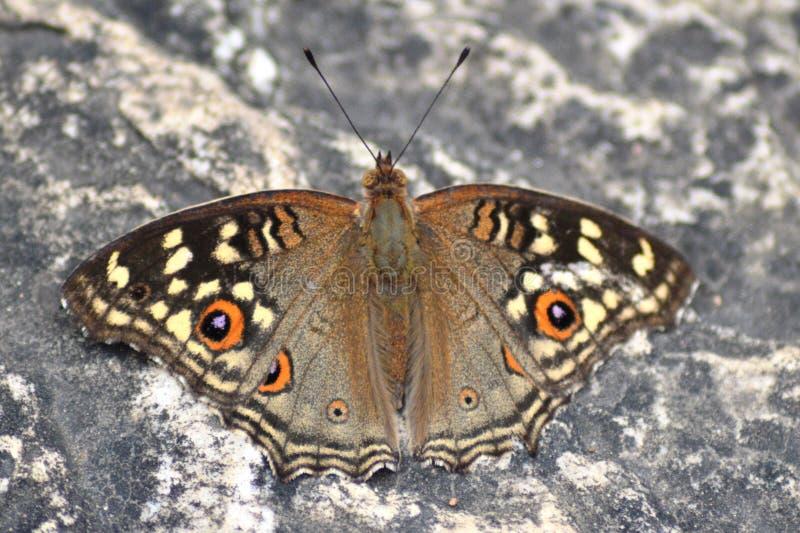 Mariposa de Brown en roca imágenes de archivo libres de regalías