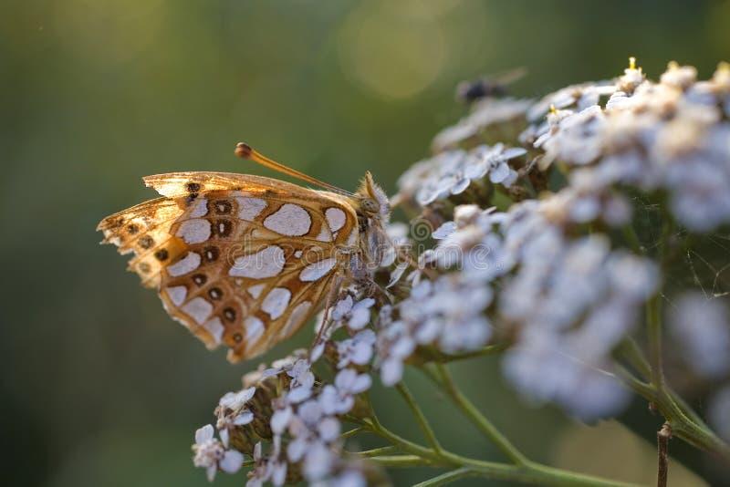 Mariposa de Brown que se sienta en una flor blanca del verano imágenes de archivo libres de regalías