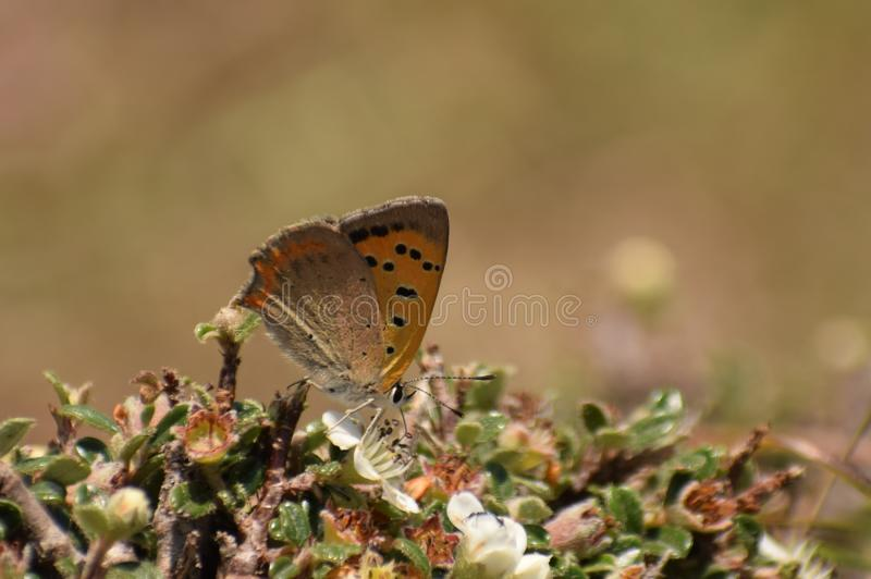 Mariposa de cobre común hermosa de los phlaeas del lycaena fotografía de archivo libre de regalías