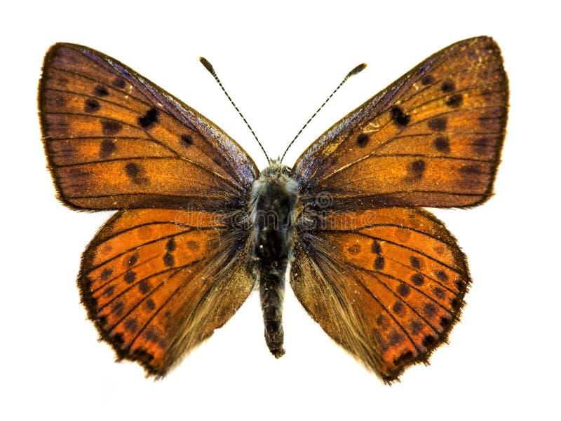 mariposa de cobre del Púrpura-tiro fotografía de archivo libre de regalías