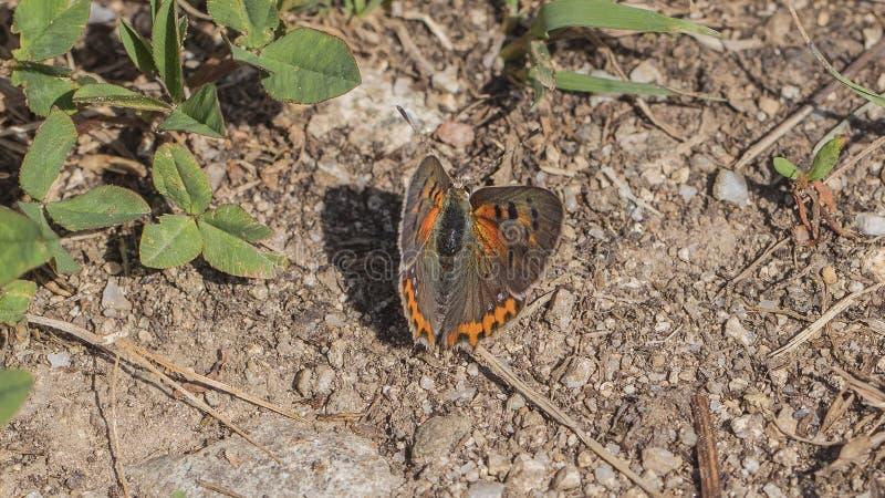 Mariposa de cobre fuliginosa femenina foto de archivo libre de regalías