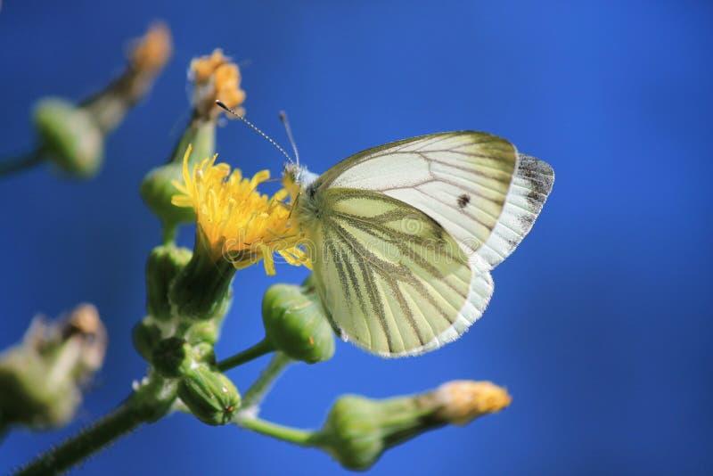 Mariposa de col, diente de león, rapae de los piris, pequeño blanco en la flor amarilla foto de archivo
