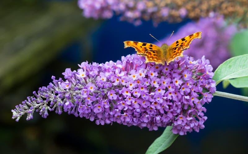 Mariposa de coma que alimenta en la flor púrpura del Buddleia foto de archivo libre de regalías