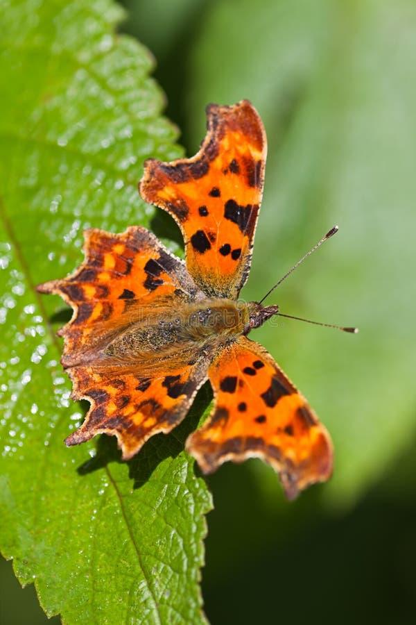 Mariposa De Coma Que Se Reclina Sobre La Hoja Verde Imagen de archivo libre de regalías