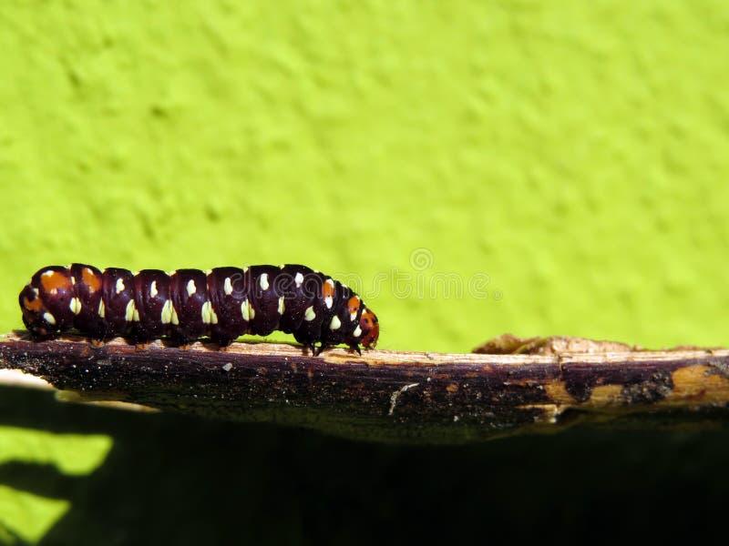 Mariposa de emperador Caterpillar fotografía de archivo
