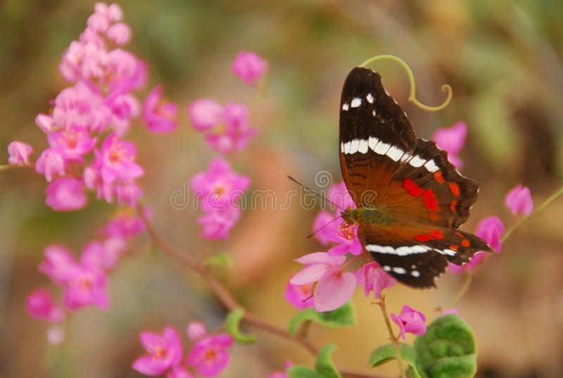 Mariposa de Fatima Peacock en la flor rosada foto de archivo libre de regalías