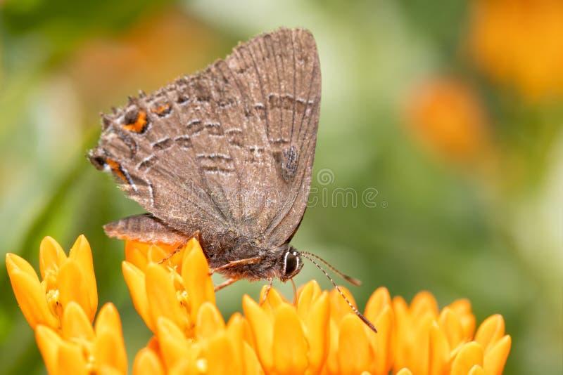Mariposa de Hairstreak congregada en Butterflyweed anaranjado brillante imagen de archivo