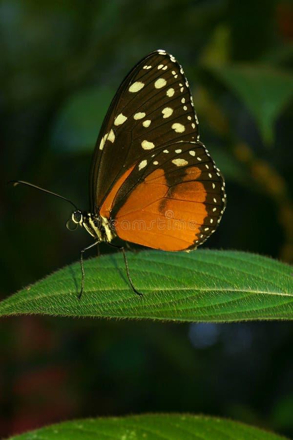 Mariposa de Hecales Longwing imagen de archivo libre de regalías