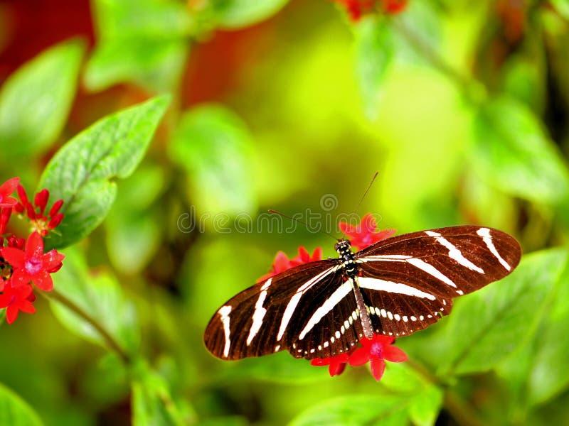 Mariposa de Heliconian de la cebra en el integerrima rojo de Jatrophe imagen de archivo libre de regalías