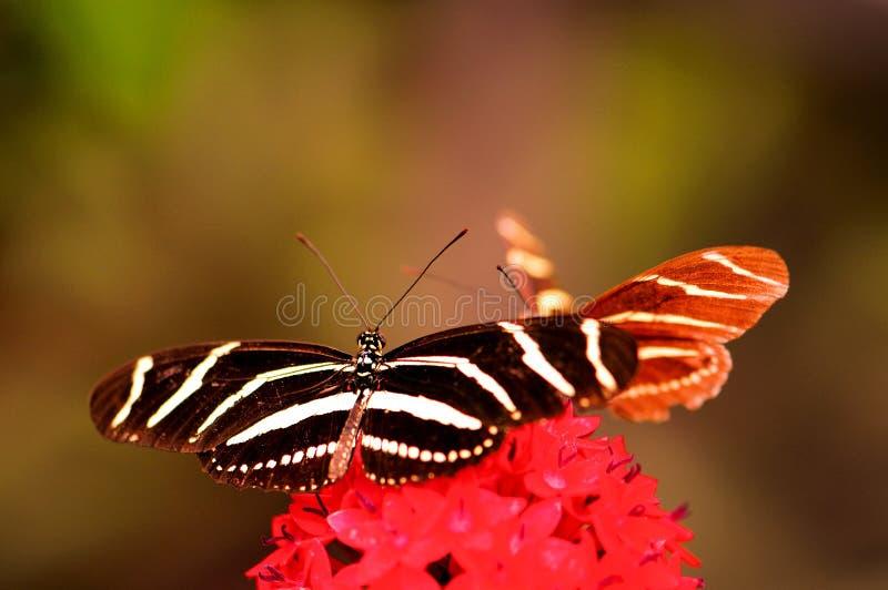 Mariposa de Heliconian de la cebra en las flores del lanceolata de Pentas fotografía de archivo libre de regalías