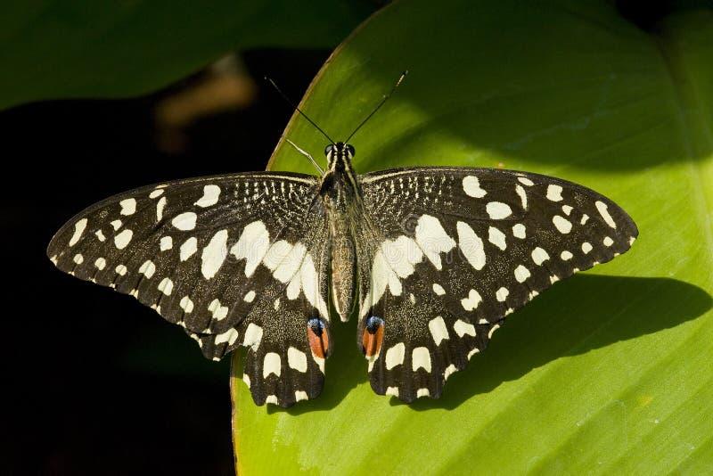 Mariposa de la cal imagenes de archivo