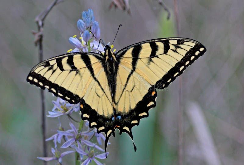 Mariposa de la cola del trago imagen de archivo