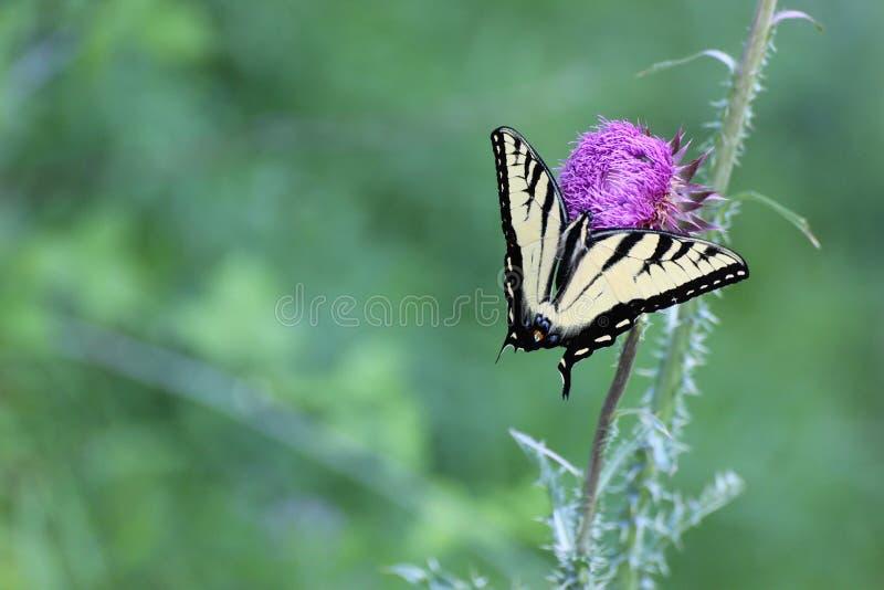 Mariposa de la cola del trago foto de archivo