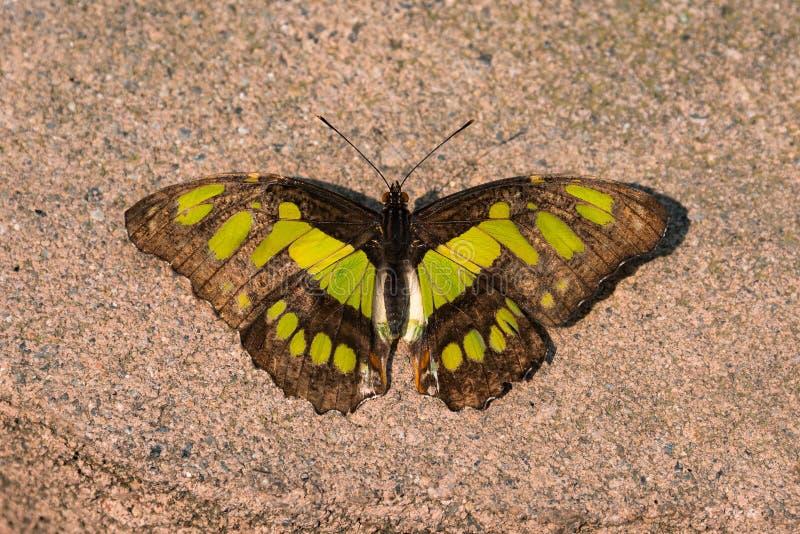 Mariposa de la malaquita imagenes de archivo