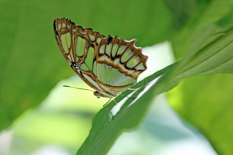 Mariposa de la malaquita fotografía de archivo libre de regalías