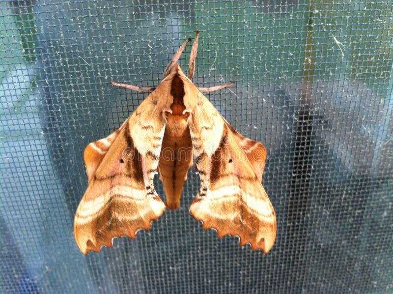 Mariposa de la noche fotografía de archivo libre de regalías
