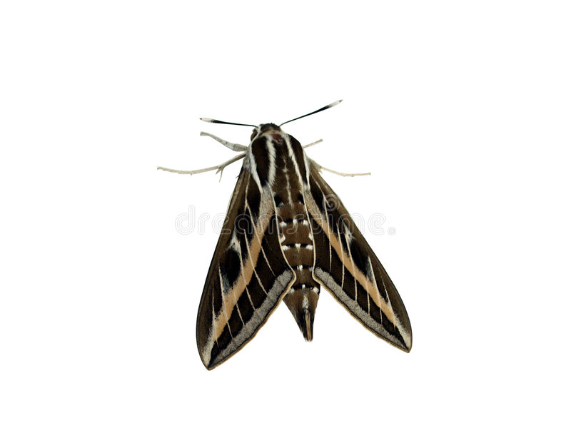 Mariposa de la noche imagenes de archivo